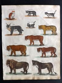 Goldsmith & Shaw 1817 Hand Col Print. Domestic Cat, Leopard, Tiger, Lion, Lioness, Once, Angora Cat